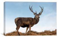 Red Deer Stag on a Hilltop, Canvas Print