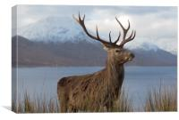 Red Deer Stag in Winter, Canvas Print