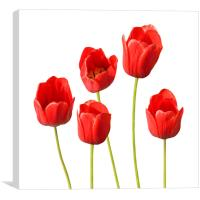 Red Tulips White Background Wall Art, Canvas Print