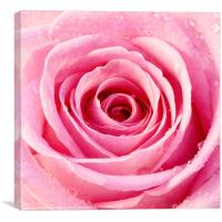 Pink Rose with Water Droplets, Canvas Print