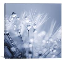 Dandelion Seed with Water Droplets in Blue, Canvas Print
