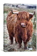 Highland coo, Canvas Print