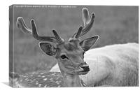 Fallow deer black and white, Canvas Print