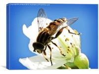 Hoverfly on cherry blossom, Canvas Print