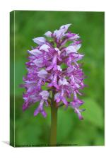 wild orchid, Canvas Print