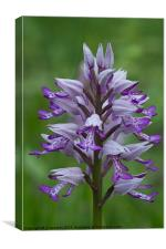 Military orchid, Canvas Print