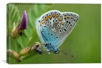 blue butterfly, Canvas Print