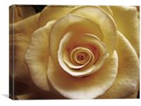 Cream rose old style, Canvas Print