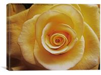 Cream coloured rose, Canvas Print