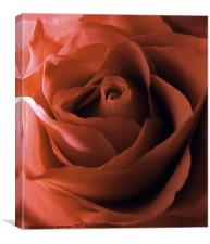 rose red, Canvas Print