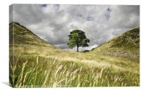 Sycamore Gap, Hadrians Wall, Canvas Print