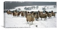 Ewe it's cold out here, Canvas Print