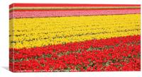 Tulip fields 1, Canvas Print