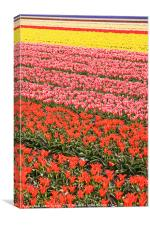 Tulip fields 2, Canvas Print