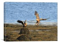 White Tailed Eagles, Isle of Mull, Canvas Print