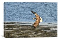 White Tailed Eagle, Mull, Canvas Print