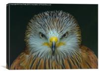 Red Kite, Canvas Print
