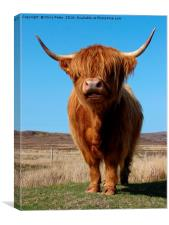 Highland Cow                              , Canvas Print