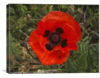 Large Red African Poppy, Canvas Print