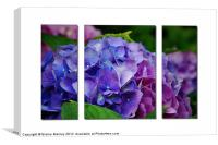 Hydrangeas inShades of Pink ,Blue and Purple, Canvas Print