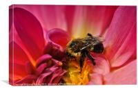 Pollen Covered Bee, Canvas Print