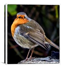 One red robin, Canvas Print