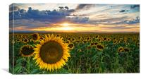 Sunflowers Of Golden Hour, Canvas Print