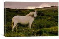 White Dartmoor Pony, Canvas Print