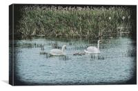 Swans and Cygnets, Canvas Print