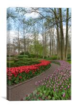 Pure red and pink white color tulips blossom, Canvas Print