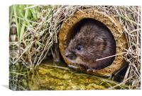 Water Vole, Canvas Print
