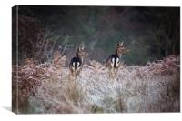 Fallow Deer on a frosty morning, Canvas Print