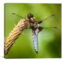Broad Bodied Chaser, Canvas Print