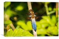 Broad-bodied Chaser, Canvas Print
