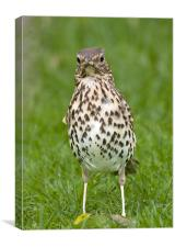 Thrush with slippers, Canvas Print
