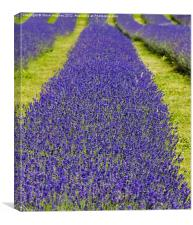 Mayfield Lavender Fields, Canvas Print