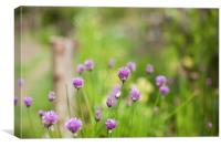 Chive flower heads, Canvas Print