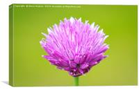Single Chive flower, Canvas Print
