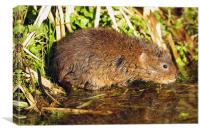 Water Vole in the Sun, Canvas Print