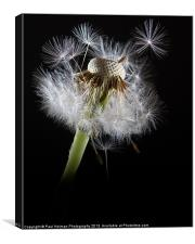 Dandelion seeds, Canvas Print