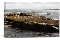 Coquet island of birds, Canvas Print