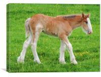 Shire Horse Foal Standing, Canvas Print