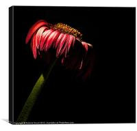 Wilted, Canvas Print