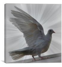 dove from above, Canvas Print