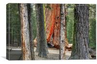 redwood forest, Canvas Print
