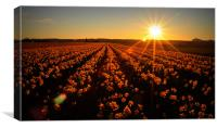 Daffodils at Sunset, Canvas Print