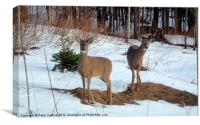 Curious Whitetail Does, Canvas Print
