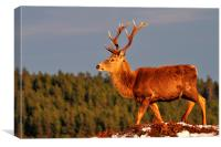 Red Deer Stag in the Winter Sun, Canvas Print