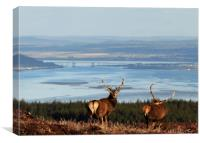 Stags Above the Beauly Firth and Inverness, Canvas Print