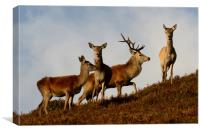 Red Deer in the Highlands , Canvas Print